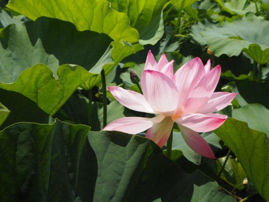 ハスの花 つつじが岡公園 城沼花ハスまつり