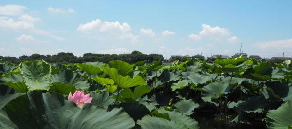 城沼の花ハス つつじが岡公園 城沼花ハスまつり