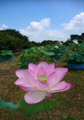 世界のハス展 つつじが岡公園 城沼花ハスまつり