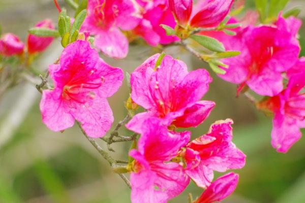 つつじの花 つつじが岡公園 城沼花ハスまつり