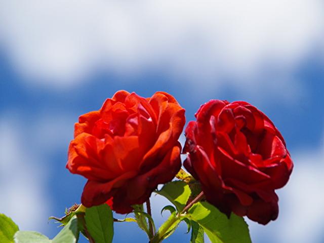 バラ ガーデン花蔵