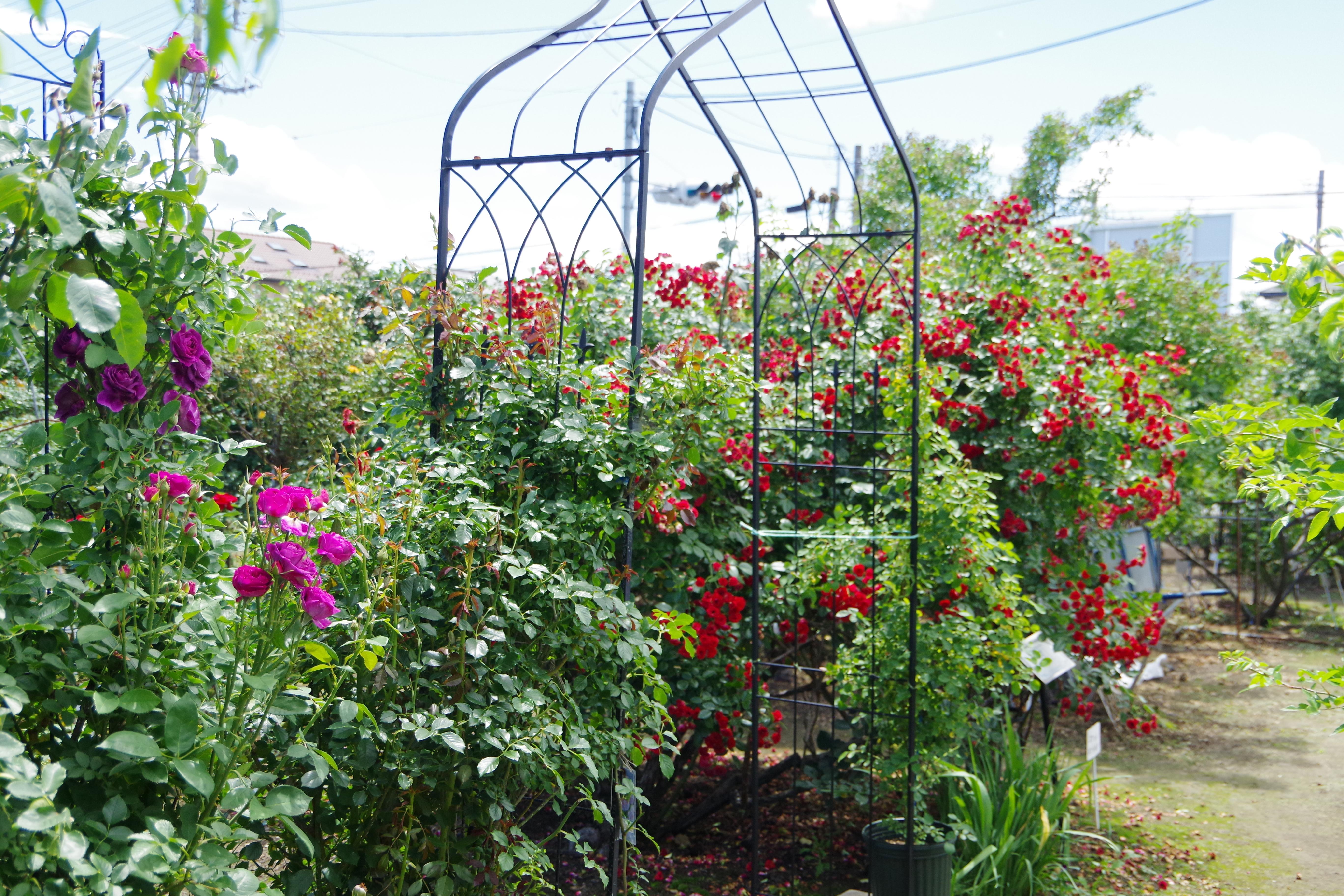 バラ ガーデンアーチ
