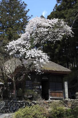 日向見薬師堂と桜 温泉観光 人気スポット