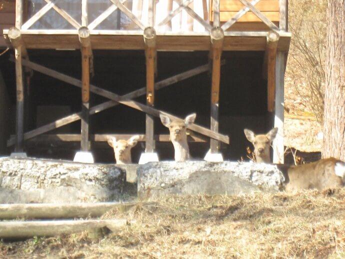 なんもく村自然公園 鹿