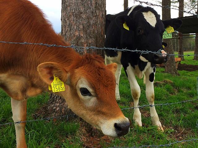 仔牛たちとのふれあい 浅間牧場茶屋