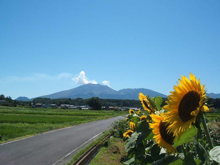 浅間山 ひまわり