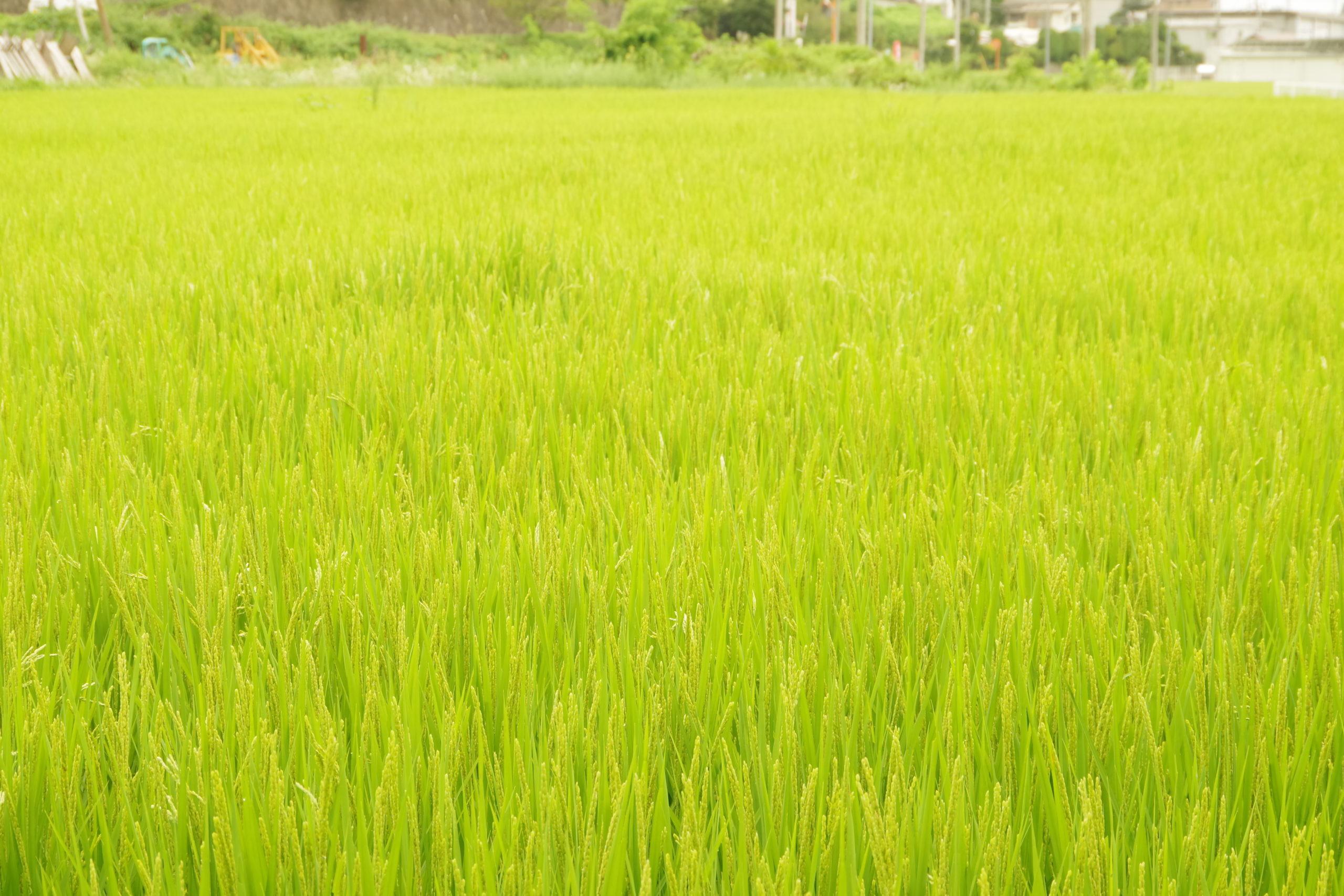薄根の大クワ 桑畑