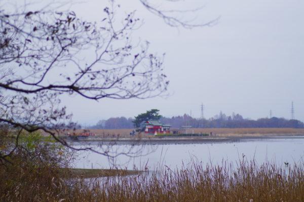 白鳥まつり 多々良沼