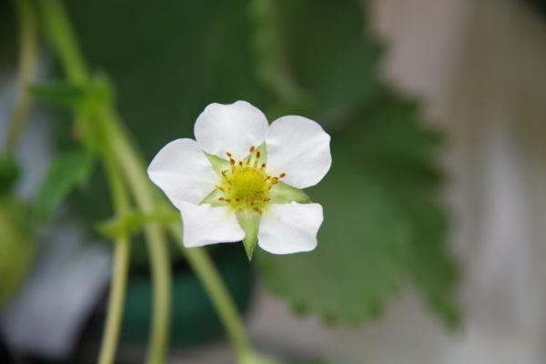伊香保のいちご 花