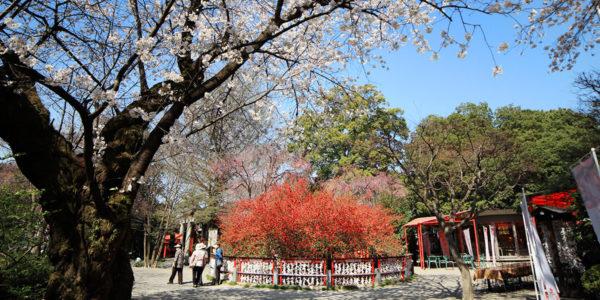 冠稲荷神社 木瓜の木