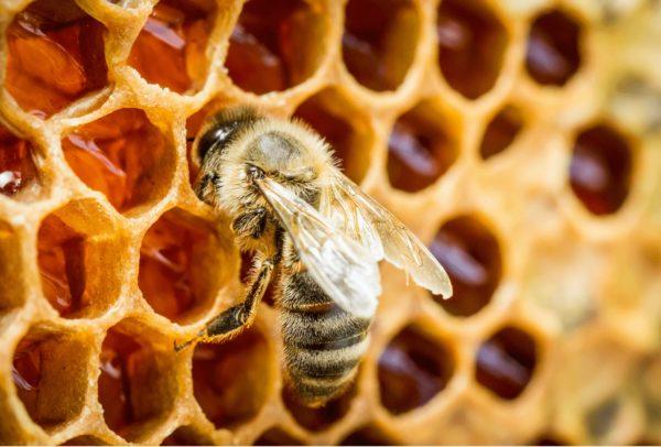 ハチの巣駆除 ミツバチ