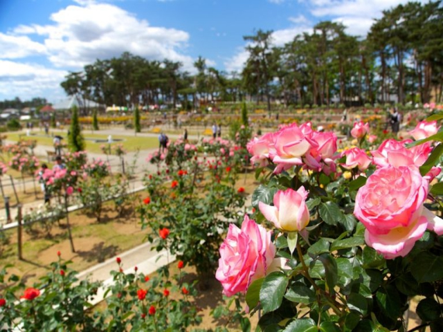 敷島公園門倉テクノばら園 ばら園風景