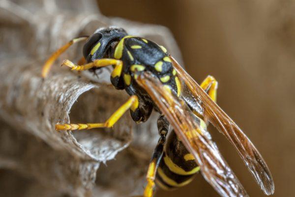 ハチの巣駆除 アシナガバチ