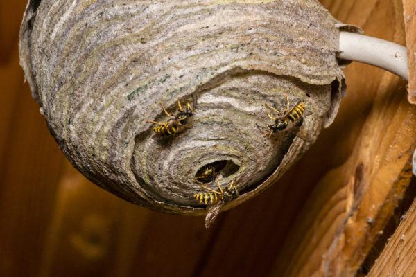 ハチの巣駆除 スズメバチ