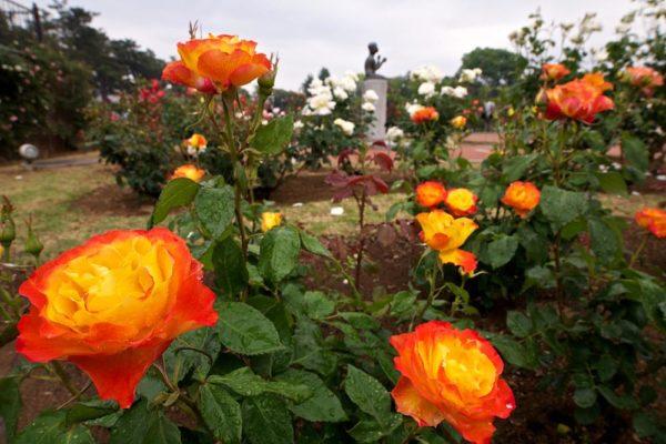 敷島公園門倉テクノばら園 オレンジ色のバラ