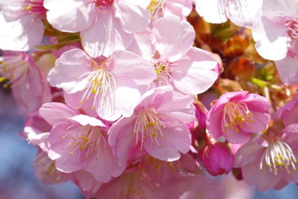 河津桜 早咲き桜