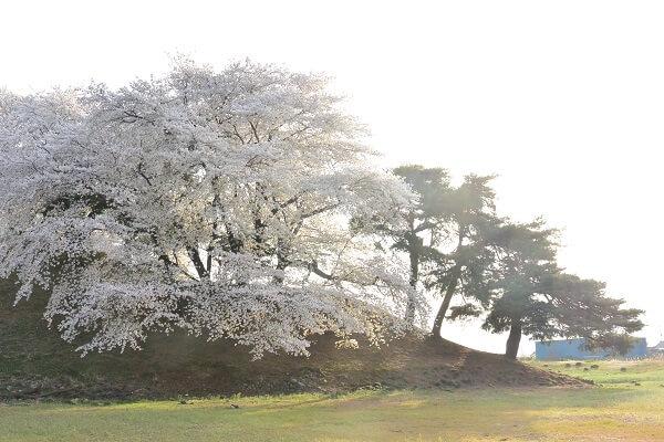 藤岡市 桜
