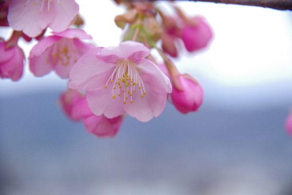 かわづ桜の丘白井 花びら