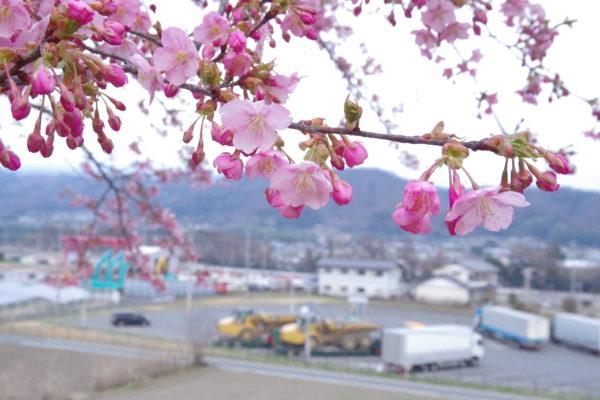 かわづ桜の丘白井 木材のチップ