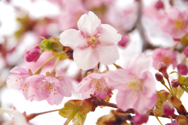 河津桜 かわづ桜の丘白井