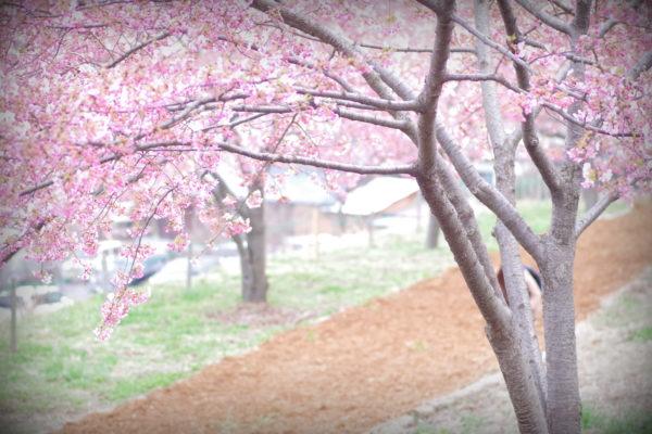 かわづ桜の丘白井 歩きやすい