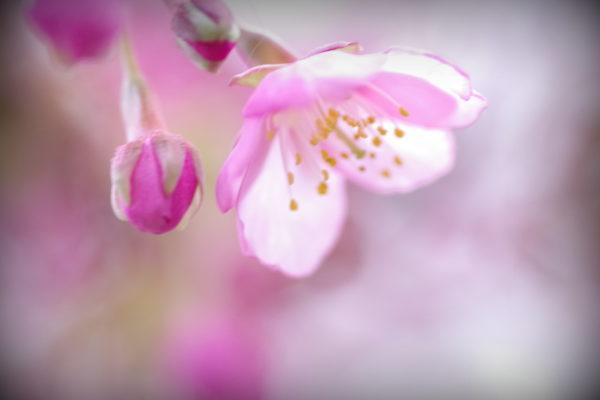 かわづ桜の丘白井 ピンク
