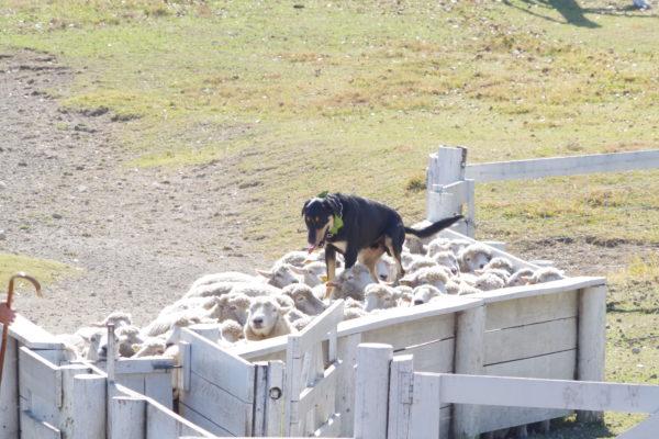 伊香保グリーン牧場 迫力あるシープドッグショー