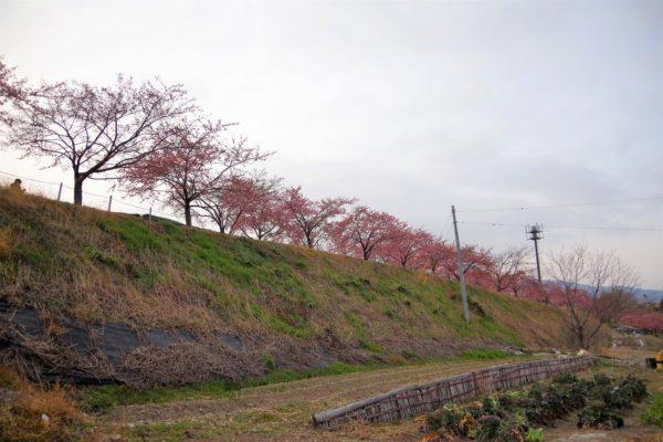 かわづ桜の丘白井 お散歩