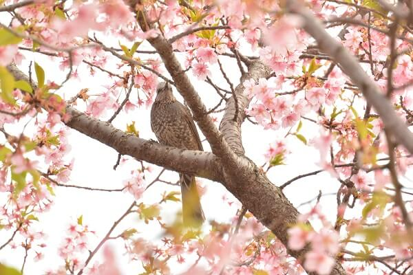 河津桜 野鳥