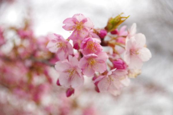 かわづ桜の丘白井 河津桜