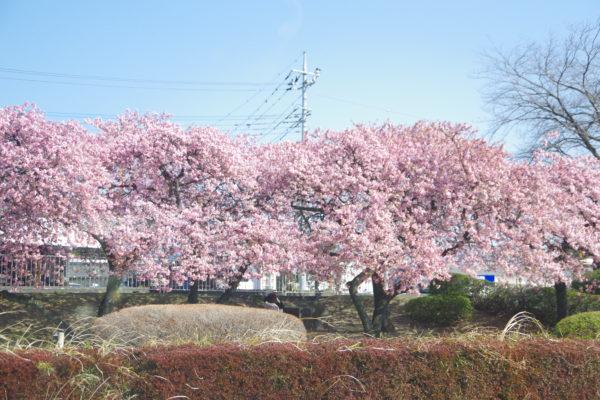 河津桜 敷島公園