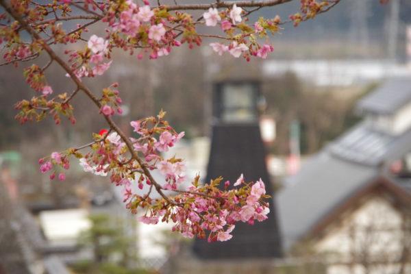 かわづ桜の丘白井 遅咲き