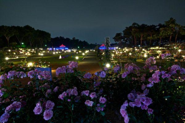 敷島公園門倉テクノばら園 夜のバラ