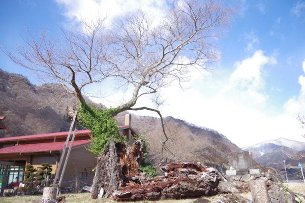 謙信のさかさ桜 桜の木