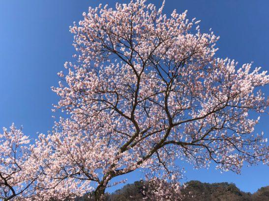 謙信のさかさ桜 開花した桜