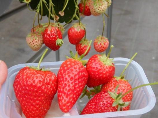 れいわイチゴ園 おいCベリー実物