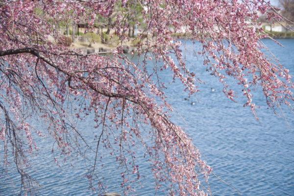 三ツ寺公園 枝垂れ桜1