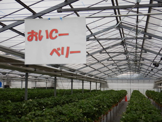 れいわイチゴ園 おいCベリー栽培エリア