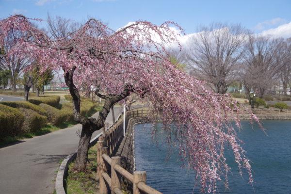 三ツ寺公園 枝垂れ桜2
