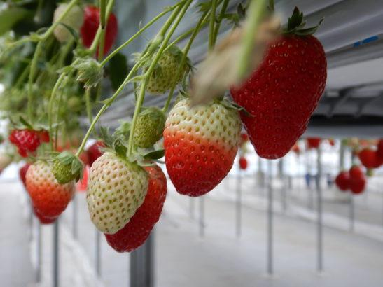 れいわイチゴ園 イチゴ