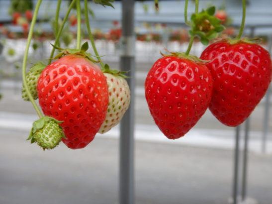 れいわイチゴ園 紅ほっぺ実物