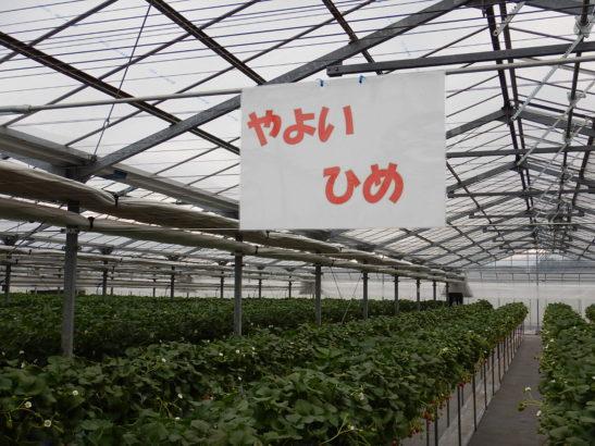 れいわイチゴ園 やよいひめ栽培エリア
