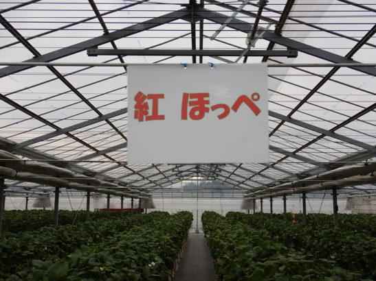 れいわイチゴ園 紅ほっぺ栽培エリア