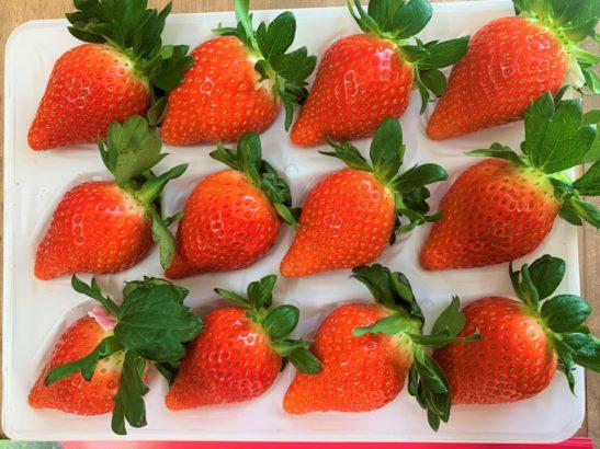 れいわイチゴ園 並ぶイチゴ