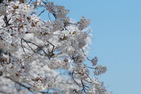 沼田市の桜スポット 桜