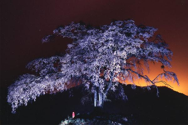 沼田市の桜スポット 上発地枝垂れ