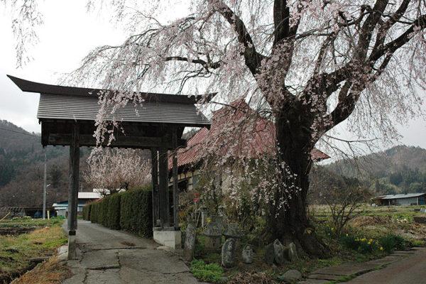 沼田市の桜スポット 天照寺