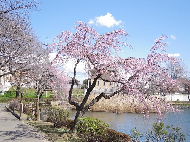 三ツ寺公園 桜の木