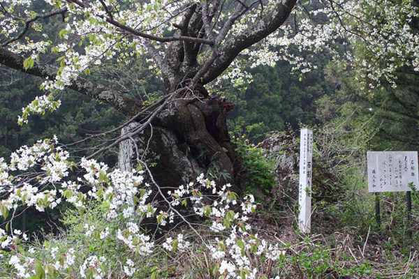 沼田市の桜スポット 石割桜