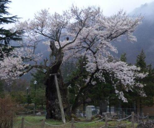 謙信のさかさ桜 カスミザクラ